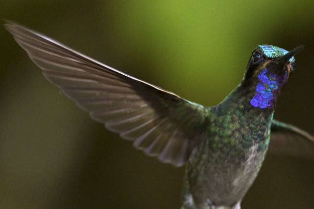 A Green Violetear is pictured at a Hummingbird feeding station on January 07, 2016 in Monteverde Costa Rica. (Photo by Dan Kitwood/Getty Images)
