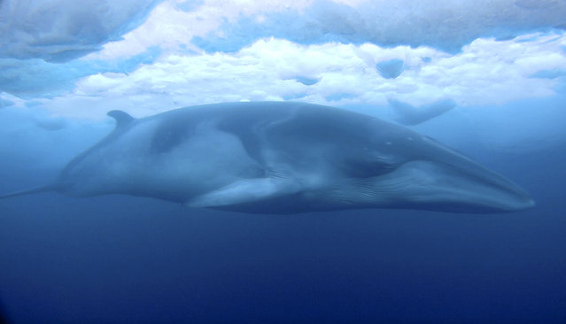 In this February 1, 2018, images made from video and supplied by Dr Regina Eisert and Anthony Powell of the University of Canterbury a minke whale glides under the ice in McMurdo Sound, Antarctica. Marine mammal expert Regina Eisert thought minke whales were a little boring until she captured some striking footage of one swimming underwater near Antarctica. Now she thinks they're beautiful. (Photo by Regina Eisert/University of Canterbury via AP Photo)