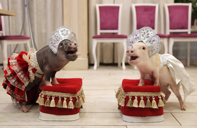 Mini-pigs perform during the presentation in Balashikha, Russia on December 19, 2018. (Photo by Maxim Shemetov/Reuters)