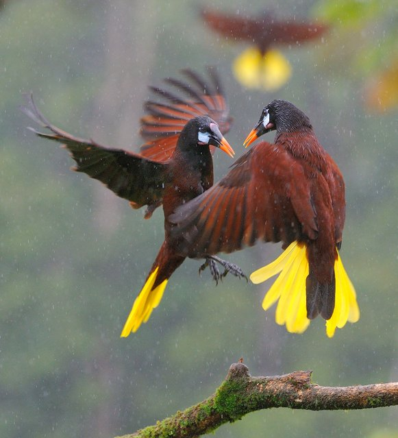 """Oropendola ruckus!"" Montezuma Oropendolas squabbling over bananas in the rainforest. Photo location: Laguna del Lagarto, Costa Rica. (Photo and caption by Leslie Anderson/National Geographic Photo Contest)"