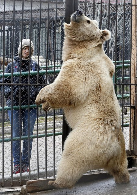 Pamir, an eight-year-old Tien Shan White Claw bear, reacts inside an open-air cage at the Royev Ruchey Zoo on the suburbs of the Siberian city of Krasnoyarsk, Russia, April 28, 2015. (Photo by Ilya Naymushin/Reuters)