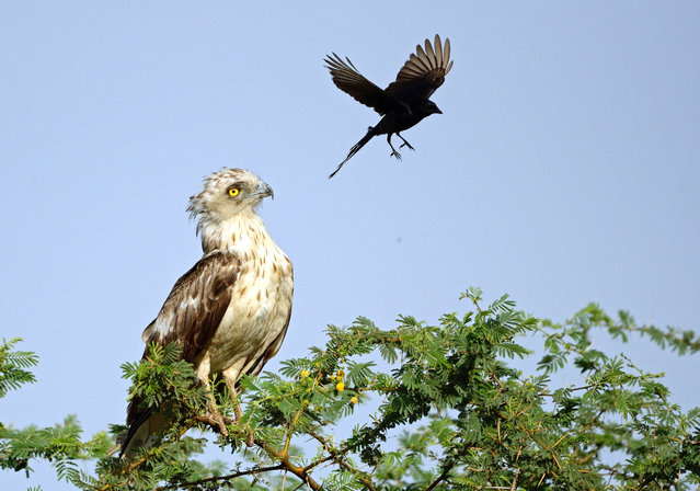 The crow circles the irritated eagle. (Photo by Greaves B. Henriksen/Caters News Agency)