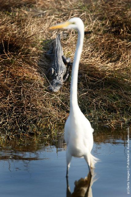 A alligator keeps and eye on a Great Egret at Merritt Island National Wildlife Refuge