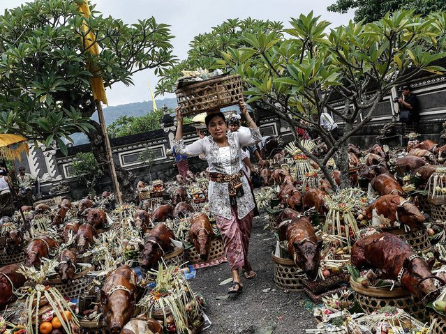 A woman who carries basket on her head passes hundreds of roasted pig in Dalem Temple at Timbrah Village in Karangasem. (Photo by Putu Sayoga/Getty Images)