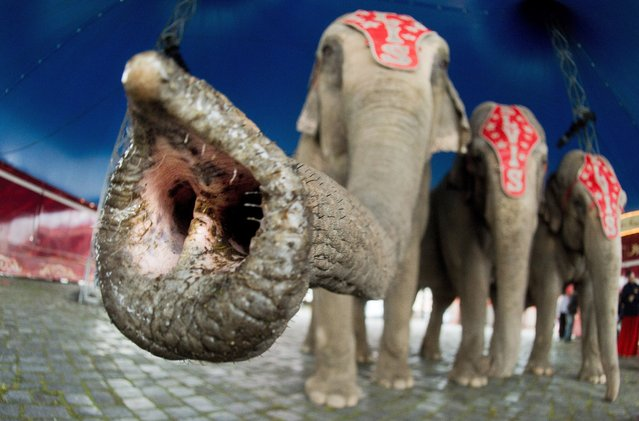 A curious elephant holds its trunk in front of the camera during the press event for the Circus Charles Knie in Hanover, Germany, March 24, 2014. The circus, with its 110 animals and 100 employees, will be in Hanover until April 6th. (Photo by Julian Stratenschulte/EPA)