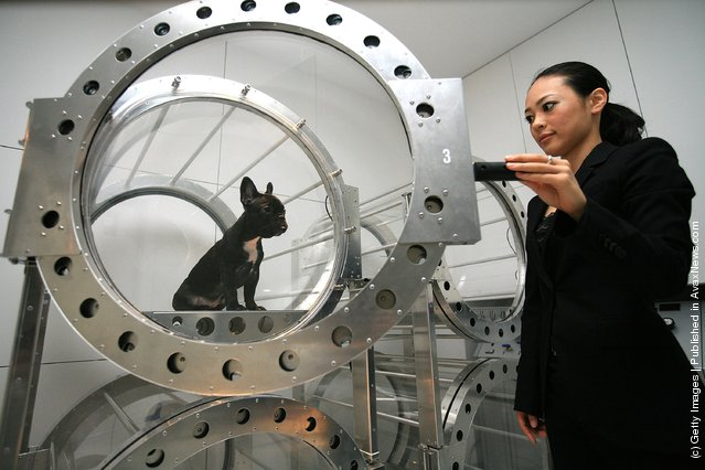 A dog relaxes in an oxygen capsule DOGS O2