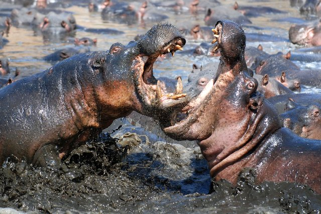 Photographer Nils Rinalidi captures two hippos fighting in a muddy pool in Katavi National Park, Tanzania. (Photo by Caters News)