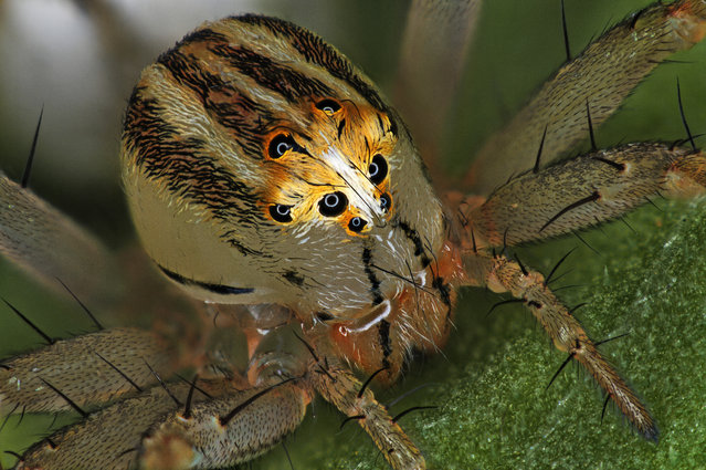 14th Place: Antoine Franck, CIRAD – Agricultural Research for Development, Saint Pierre, Réunion. Female Oxyopes dumonti (lynx) spider. Focus Stacking, 1x (Objective Lens Magnification). (Photo by Antoine Franck/Nikon's Small World 2019)