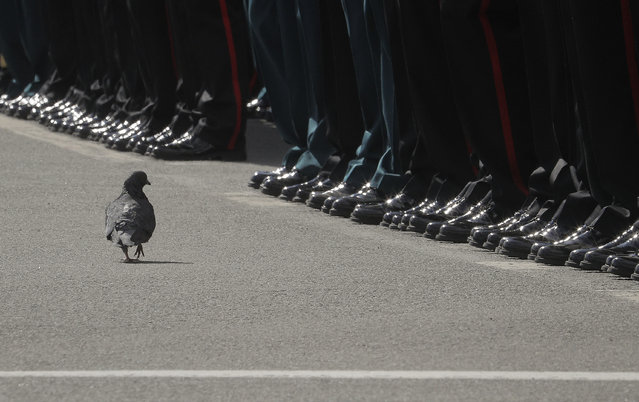 A pigeon walks in front of the ranks of soldiers during the Victory Day military parade in St. Petersburg, Russia, on Tuesday, May 9, 2017. (Photo by Dmitri Lovetsky/AP Photo)