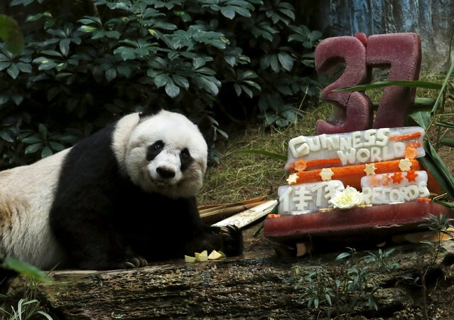 """Giant panda Jia Jia looks on beside a birthday cake made from ice and vegetables as she celebrates her 37-year-old birthday at the Hong Kong Ocean Park, China, July 28, 2015. Jia Jia, the oldest giant panda living in captivity, set a Guinness World Records title for """"Oldest Panda Living in Captivity"""" on Tuesday, with her age said to put her on par with a human centenarian. (Photo by Bobby Yip/Reuters)"""