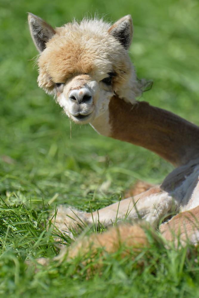 """Alpaca Land"""