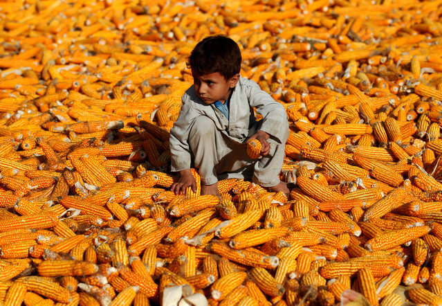 An Afghan boy sits on corn cobs after harvest in a field in Nangarhar province, Afghanistan on October 15, 2019. (Photo by Reuters/Parwiz)