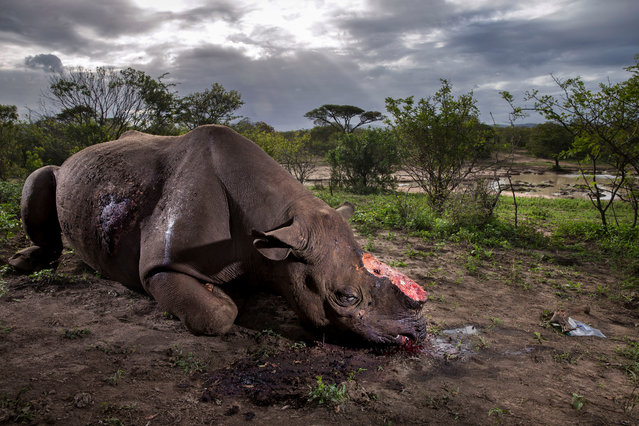 Wildlife Photographer of the Year winner 2017 (Also Wildlife Photojournalist Award: Story category). Memorial to a Species by Brent Stirton, South Africa.The killers were probably from a local community. Entering the Hluhluwe Imfolozi game reserve at night, they shot the black rhino bull using a silencer. Working fast, they hacked off the two horns and escaped. The horns would have been sold to a middleman and smuggled out of South Africa to China or Vietnam. (Photo by Brent Stirton/Wildlife Photographer of the Year 2017)