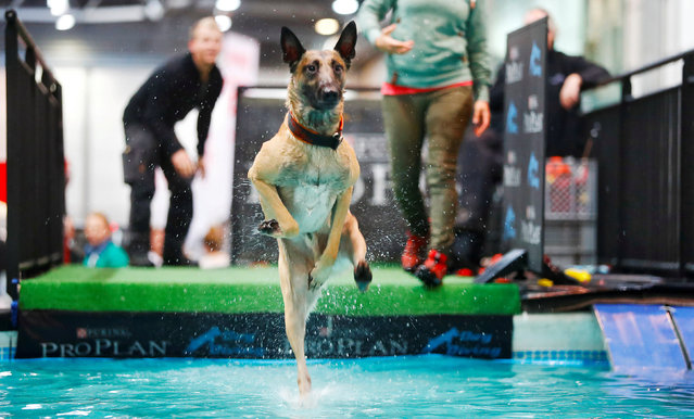 "A dog jumps into water during the ""World Dog Show"" in Leipzig, Germany, November 10, 2017. (Photo by Hannibal Hanschke/Reuters)"