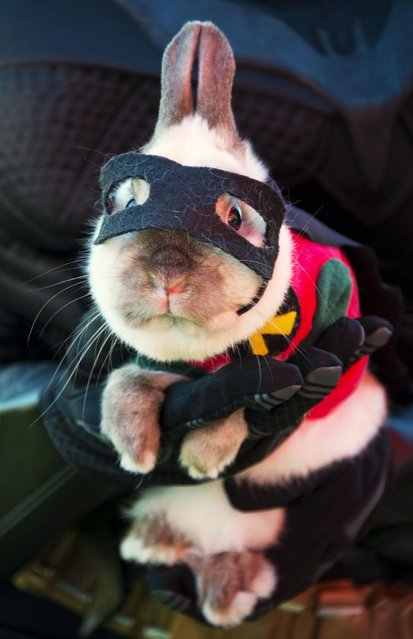 """Joey"", a dwarf Siamese rabbit, is dressed as Batman's sidekick Robin at a Halloween dog costume parade and contest in Long Beach, California, October 28, 2012. (Photo by Robyn Beck/AFP Pfoto)"