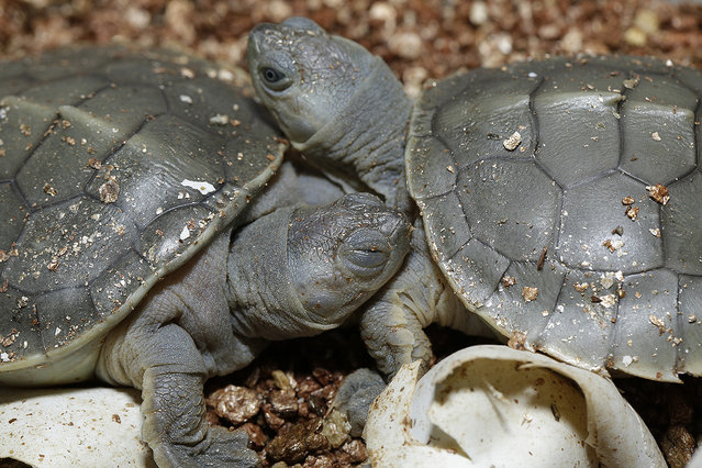 Southern river terrapins meet each other for the first time. (Photo by Wildlife Reserves Singapore)