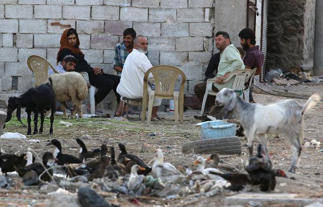 Men sit around their livestock in the rebel-held al-Sheikh Said neighbourhood of Aleppo, Syria September 1, 2016. (Photo by Abdalrhman Ismail/Reuters)