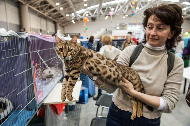 A Bengali cat is in the arms of his owner during the first day of the Super Cat Show 2014, on November 8, 2014 in Rome, Italy. (Photo by Giorgio Cosulich/Getty Images)