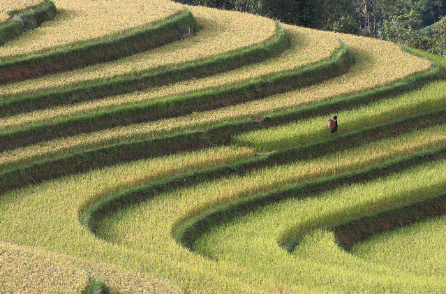 """Rice Terraces Close to Harvest Season"". Photo by Vo Anh Kiet (Ho Chi Minh City, Vietnam). Photographed in La Pan Tan, Mu Cang Chay, Yen Bai, Viet Nam, September 2012."