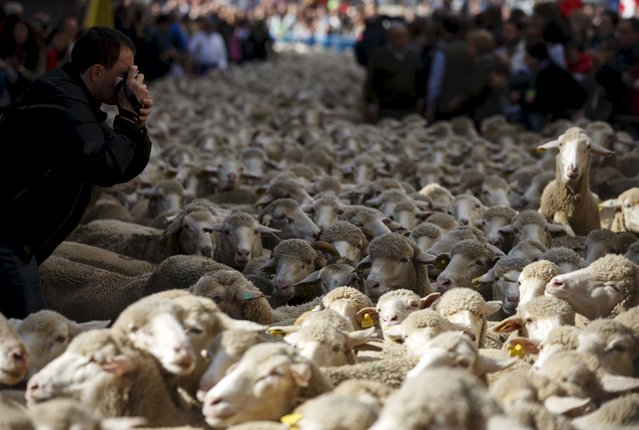 A man takes pictures of a flock of around 2000 merino sheep during the annual sheep parade through Madrid, Spain, October 25, 2015. (Photo by Sergio Perez/Reuters)