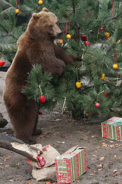 A Kamchatka brown bear stands next to a Christmas tree decorated with fruit and vegetables in  the enclosure  at the Hagenbeck zoo in Hamburg, northern Germany, Friday December 5, 2014. (Photo by Malte Christians/AP Photo/DPA)