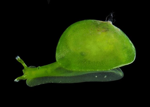 Berthelinia sp (possibly B. chloris), a bivalved sea slug; Straits of Johore, October 2012. (Arthur Anker)