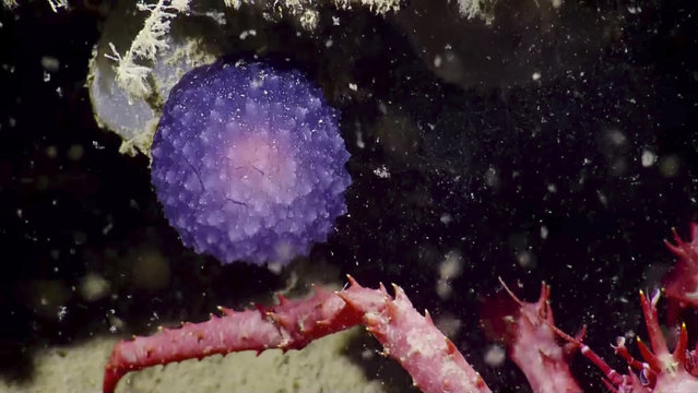 In this July 2016 image made available by the Ocean Exploration Trust, a crab, bottom, stands near an unidentified purple orb during a deep sea expedition around the Channel Islands off the coast of California. After sampling, it began to unfold to reveal two distinct lobes; researchers thing it may be a pleurobranch sea slug, a close relation to the nudibranch, but currently, none of the known species of California deep-sea pleurobranchs are purple. (Photo by Nautilus Live/Ocean Exploration Trust via AP Photo)