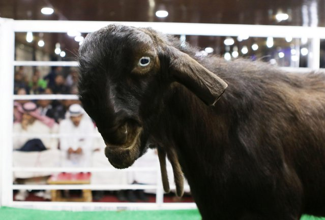A Goat is displayed on a stage for animal breeders and collectors during a rare levant goat auction and exhibition on April, 27, 2018, in Amman, Jordan. (Photo by Salah Malkawi/Getty Images)