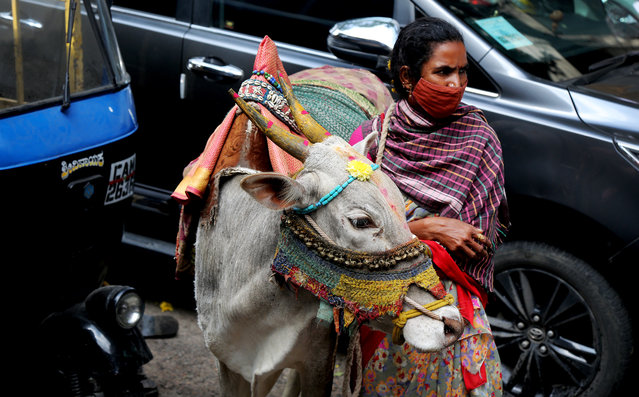 An Indian woman stands next to a decorated bull as part of the Thai Pongal festival, locally known as Makar Sankranti, in Bangalore, India, 14 January 2021. Pongal, very popular in South Indian states, is a famous dish made of rice boiled in milk with jaggery (cane sugar) and other sweeteners. Cows and bulls are traditionally decorated with bright colors during celebrations. Offerings are made to thank the Sun and the weather for helping obtain a bountiful harvest. (Photo by Jagadeesh N.V./EPA/EFE)