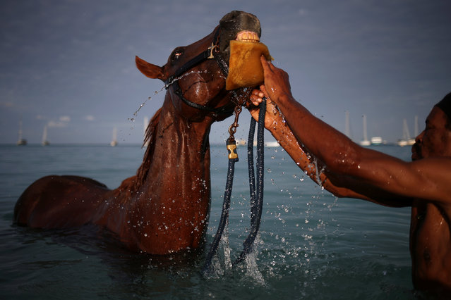 A handler bathes a horse from the Garrison Savannah in the Caribbean Sea near Bridgetown, Barbados December 1, 2016. (Photo by Adrees Latif/Reuters)