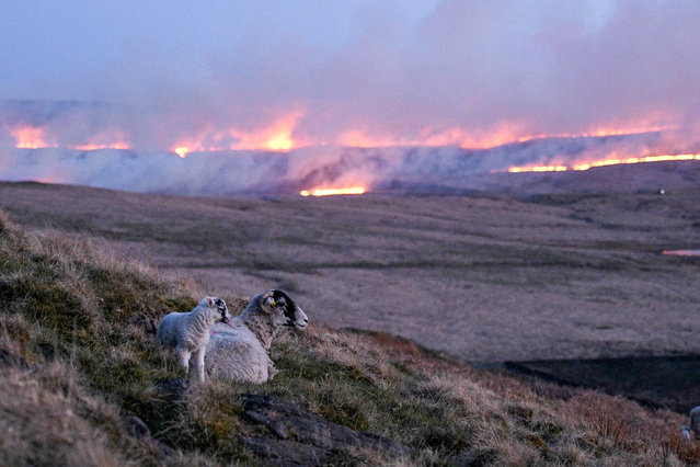 Sheep climb the hillside as flames from a moor fire are seen on Marsden moor, near Huddersfield in northern England on April 25, 2021. (Photo by Oli Scarff/AFP Photo)