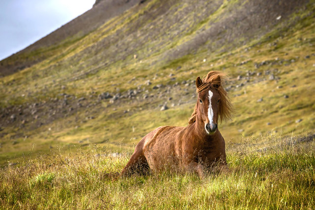 A horse laying down in a field. (Photo by Bragi J. Ingibergsson/Caters News)