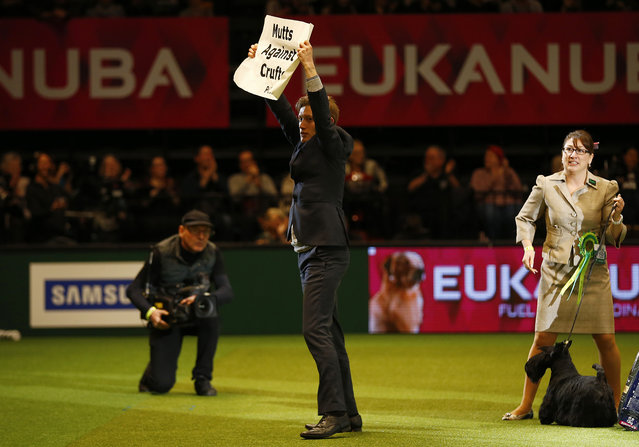 A demonstrator takes to the floor as handler Rebecca Cross, with Knopa the Scottish Terrier, celebrates after winning Best in Show during the last day of Crufts Dog Show in Birmingham, central England, March 8, 2015. (REUTERS/Darren Staples)
