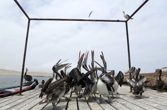 Pelicans try to catch a fish thrown by a fisherman on a fishing pier in Paracas National Reserve in Ica, March 15, 2015. The Paracas reserve, which aims to preserve the marine ecosystem, is located on the coastal areas and tropical desert of Peru. (Photo by Mariana Bazo/Reuters)