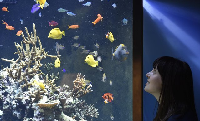 Museum employee Vicky views fish and coral in an aquarium at the Natural History Museum in west London March 25, 2015. (Photo by Toby Melville/Reuters)