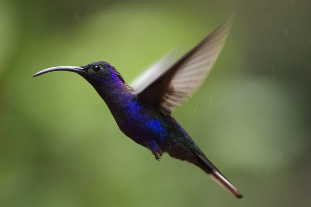 A Violet Saber-Wing is pictured at a Hummingbird feeding station on January 15, 2016 in Alajuela, Costa Rica. (Photo by Dan Kitwood/Getty Images)