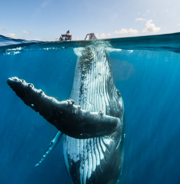 These stunning picture shows a remarkable interaction with a playful humpback whale. Taken by Sydney-based underwater photographer David Edgar in Tonga, they show the adolescent male seemingly frollicking with David's group, which included his wife Alice. Where: Tonga When: July 14, 2018. (Photo by David Edgar/Cover Images)