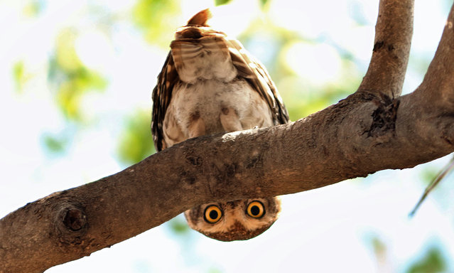 A spotted owlet appears to be playing peek-a-boo near Rancharda Lake in Ahmedabad, India on February 9, 2016. The species is common across the Indian subcontinent. (Photo by Caters News Agency)