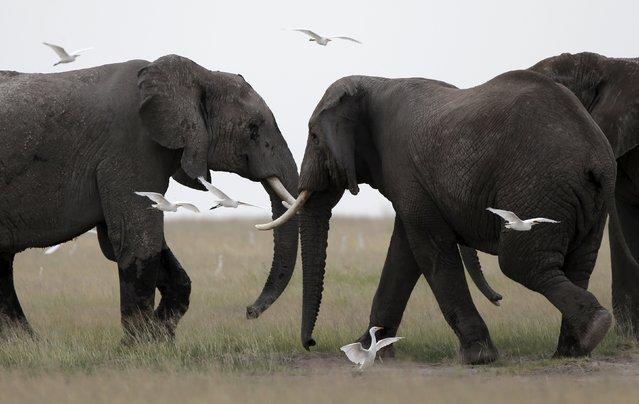Elephants play in Amboseli National park, Kenya, February 10, 2016. (Photo by Goran Tomasevic/Reuters)