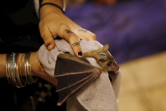 Israeli woman, Nora Lifschitz, 28, holds an injured Egyptian fruit bat at her home in Tel Aviv February 22, 2016. (Photo by Baz Ratner/Reuters)