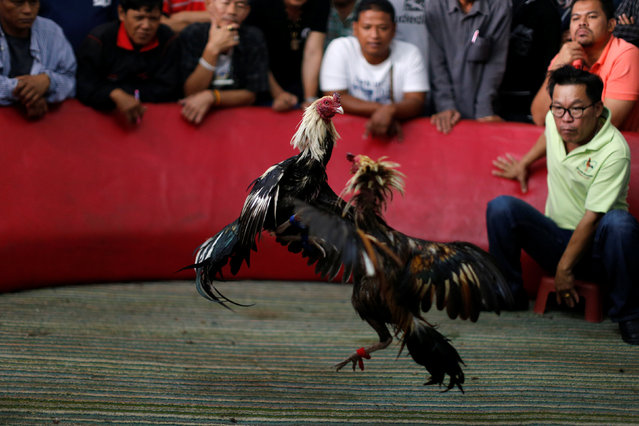 A cockfight is seen during an event organised to celebrate the Lunar New Year and the year of the Rooster on the outskirts of Bangkok, Thailand January 29, 2017. (Photo by Jorge Silva/Reuters)