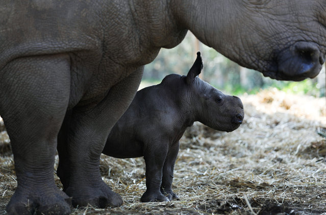Rami, a white rhinoceros male calf, born about a week ago, stands next to his mother, Rihanna, at the Ramat Gan Safari Zoo, near Tel Aviv, Israel February 6, 2017. (Photo by Amir Cohen/Reuters)