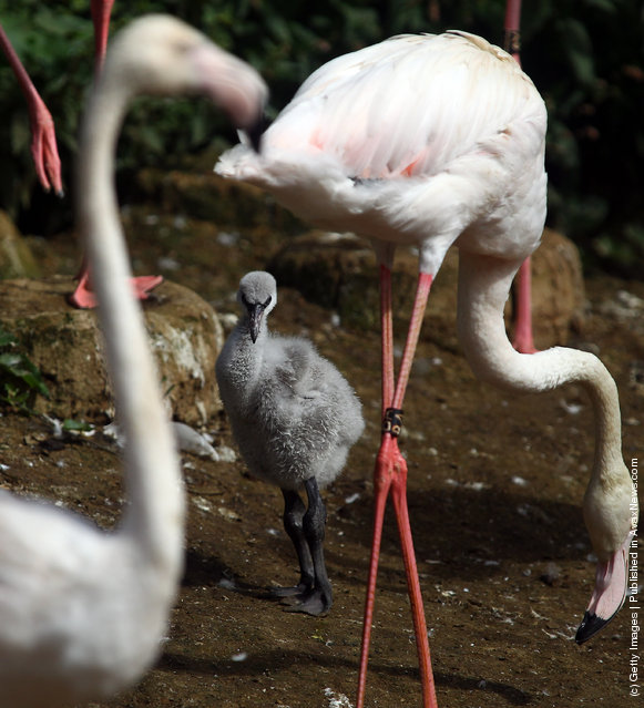 Baby Flamingoes