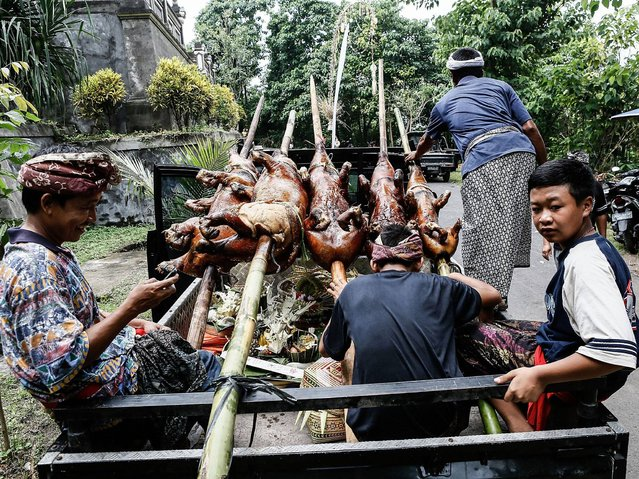 Villagers carry roasted pigs using pick up car to Dalem Temple at Timbrah Village in Karangasem. (Photo by Putu Sayoga/Getty Images)