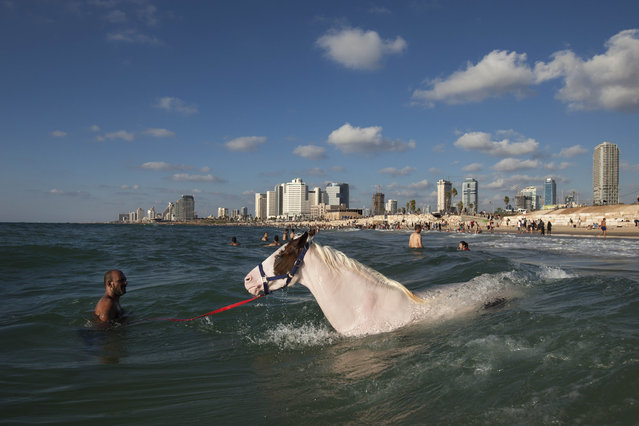 An Israeli Arab man swims with a horse  in the Mediterranean Sea off the beach in Tel Aviv, Israel, the third day of Eid al-Fitr, Tuesday, August 21, 2012. (Photo by Oded Balilty/AP Photo)