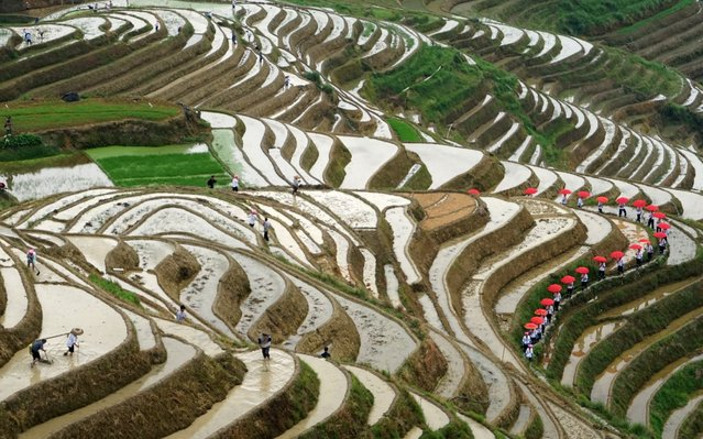 Rice seedling festival is a traditional folk festival in longji, guangxi, China on June 9, 2019, during grain in ear season. (Photo by Costfoto/Barcroft Media)