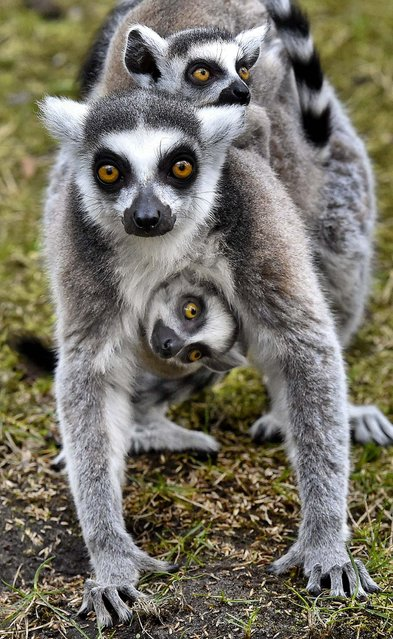 In this photo made available Tuesday, March 25, 2014, a female ring-tailed lemur (Lemur catta) carries her cubs through their enclosure at the zoo in Eberswalde, eastern Germany, Monday, March 24, 2014. (Photo by Patrick Pleul/AP Photo/DPA)
