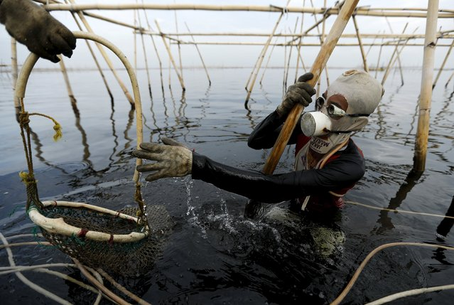 Eghy stands on a bamboo construction as he reaches for his net to collect green mussels in Jakarta Bay, Indonesia, April 20, 2016. (Photo by Reuters/Beawiharta)