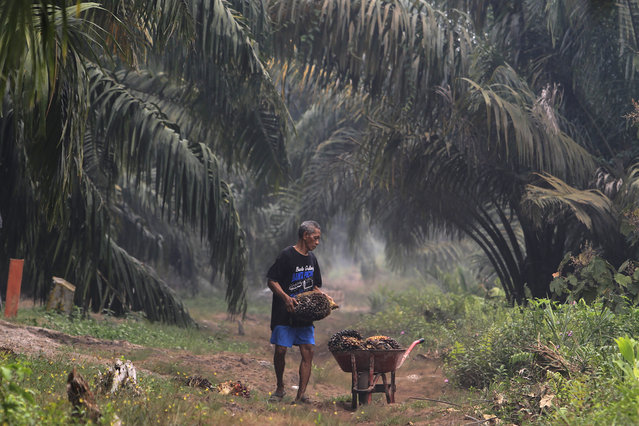 A man carry palm fruits at a palm oil plantation blanketed by haze from wildfires in Pekanbaru, Riau province, Indonesia, Saturday, September 14, 2019. Nearly every year, Indonesian forest fires spread health-damaging haze across the country and into neighboring Malaysia and Singapore. The fires are often started by smallholders and plantation owners to clear land for planting. (Photo by AP Photo/Stringer)