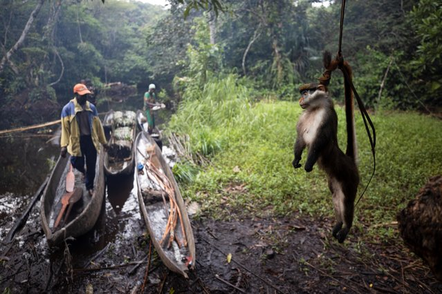 A dead red-tailed monkey hangs by its tail above the ground, in order to keep it away from ants, in the forest near the city of Mbandaka, Democratic Republic of the Congo, April 5, 2019. Bushmeat hunters are emptying Central Africa's forests at a high rate, researchers say. A growing appetite for wild meat in cities has ramped up the scale of hunting. Research shows around 6 million tonnes of bushmeat are sourced annually from the Congo Basin, whose forest spans across six countries and is second in size only to the Amazon. (Photo by Thomas Nicolon/Reuters)
